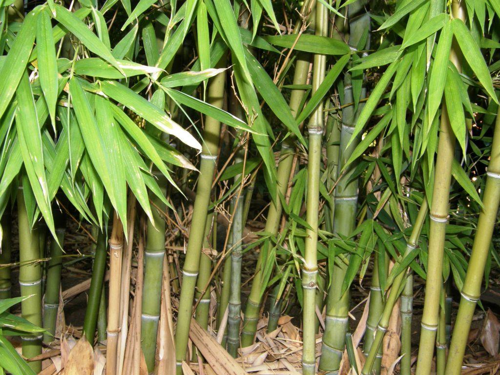 Bambus til både panda og haven