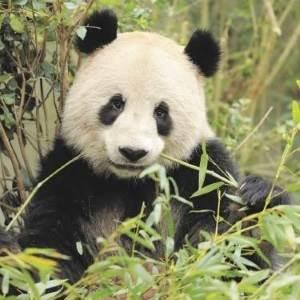 Bambus er hofretten hos pandaerne i Zoo